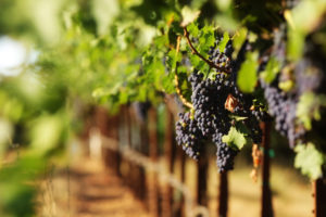 xinomavro Boutaris winery indigenous variety Cinque wine bar